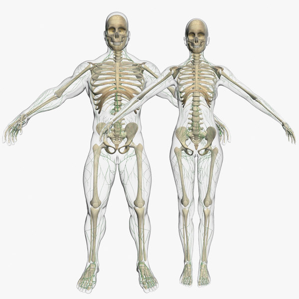 lymphatic combo body skeleton obj