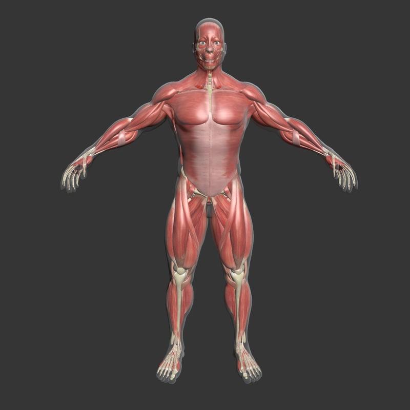 Male Muscle Anatomy 3d Model