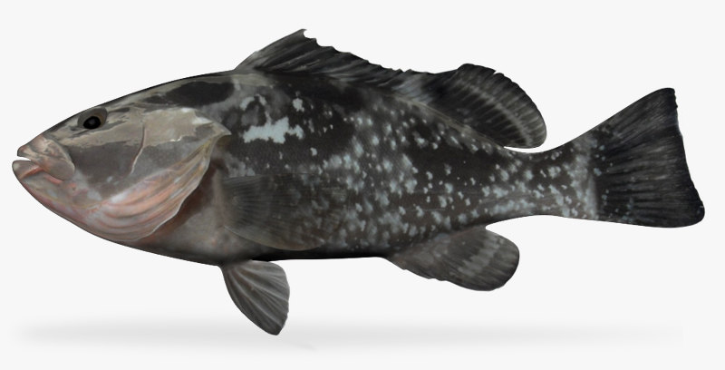 3d fbx red grouper