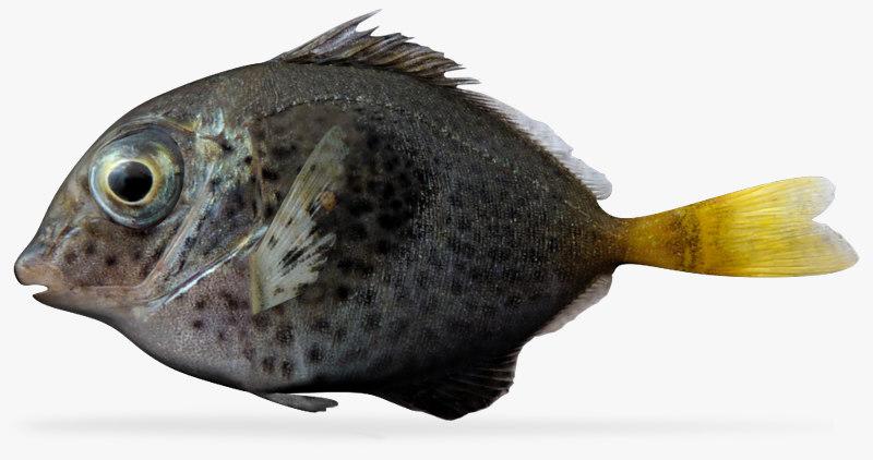 yellowtail surgeonfish ma