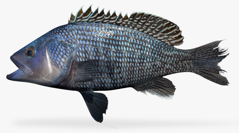 fbx black sea bass
