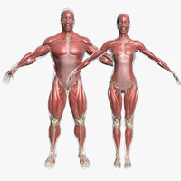 3d model male female muscle anatomy