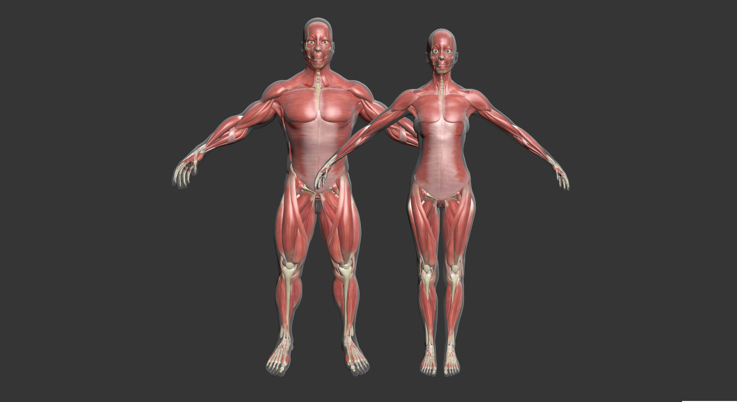 3d model male female muscle anatomy