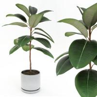 Ficus elastica decora small