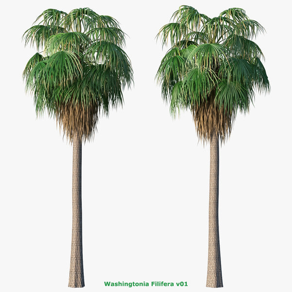 max washingtonia filifera palm
