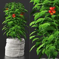 Tomato plant in bag