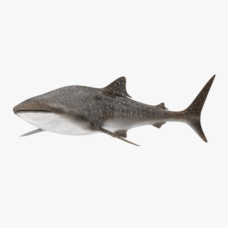 c4d whale shark pose 2