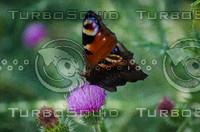 Butterfly (Aglais io)