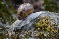 Snail(Helix pomatia)