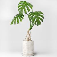 max monstera plant
