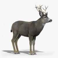 mule deer stag fur 3d max