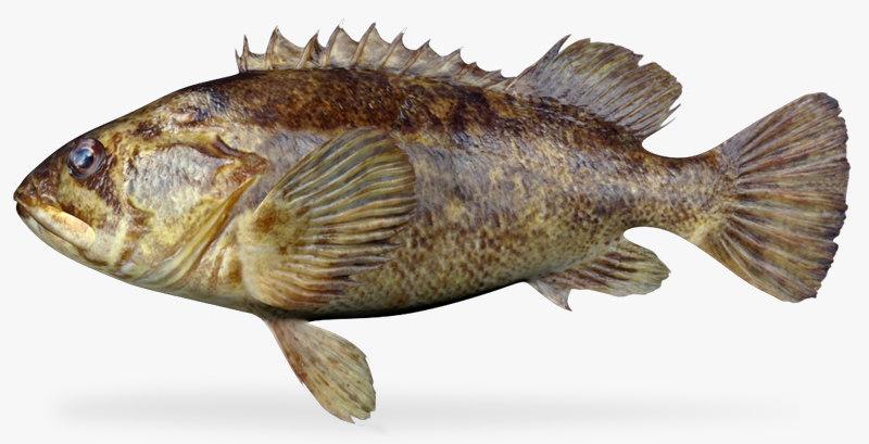 grass rockfish 3d x