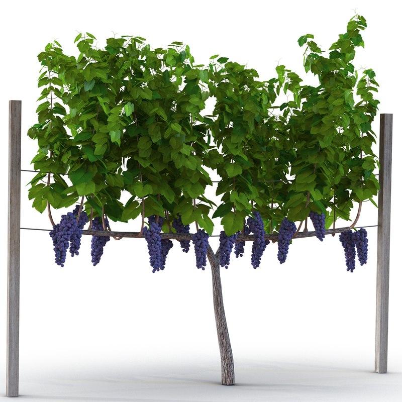 vineyard red grapes 3d model