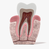 3d model of teeth anatomy