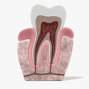 3d model of teeth anatomy