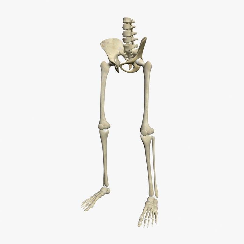 Skeleton Legs 3d Model