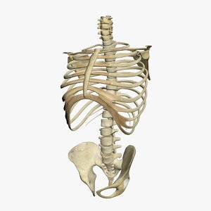 3d human skeleton torso model