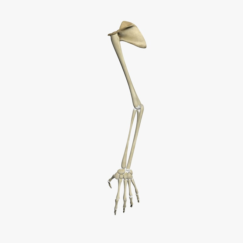 human skeleton arms max