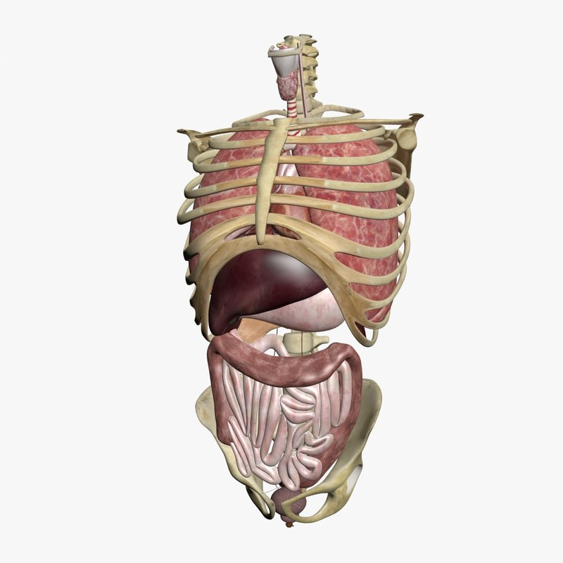 torso anatomy skeleton 3d model