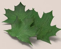 3d autumn leaves drying