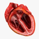 Animated Realistic Human Heart - Medically Accurate