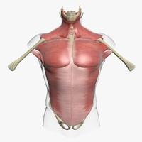3d muscles torso