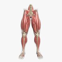 max muscle leg