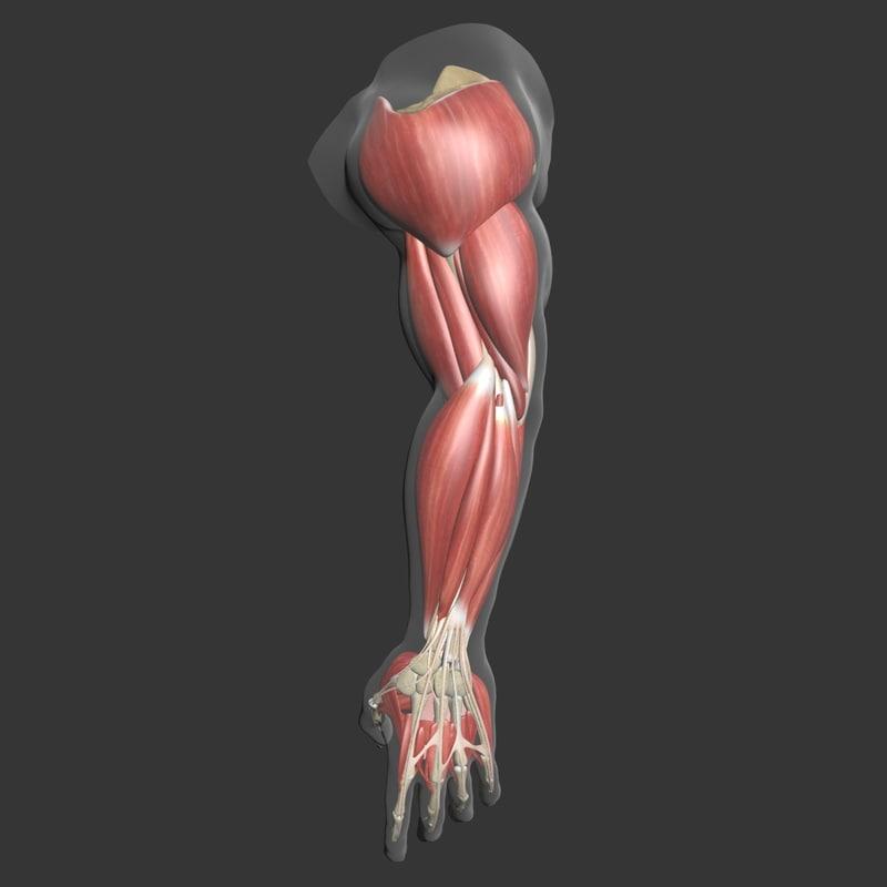 3d muscle arm model