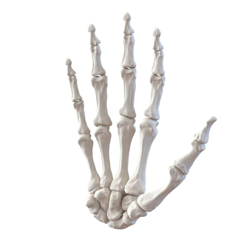 3d model human hand bones