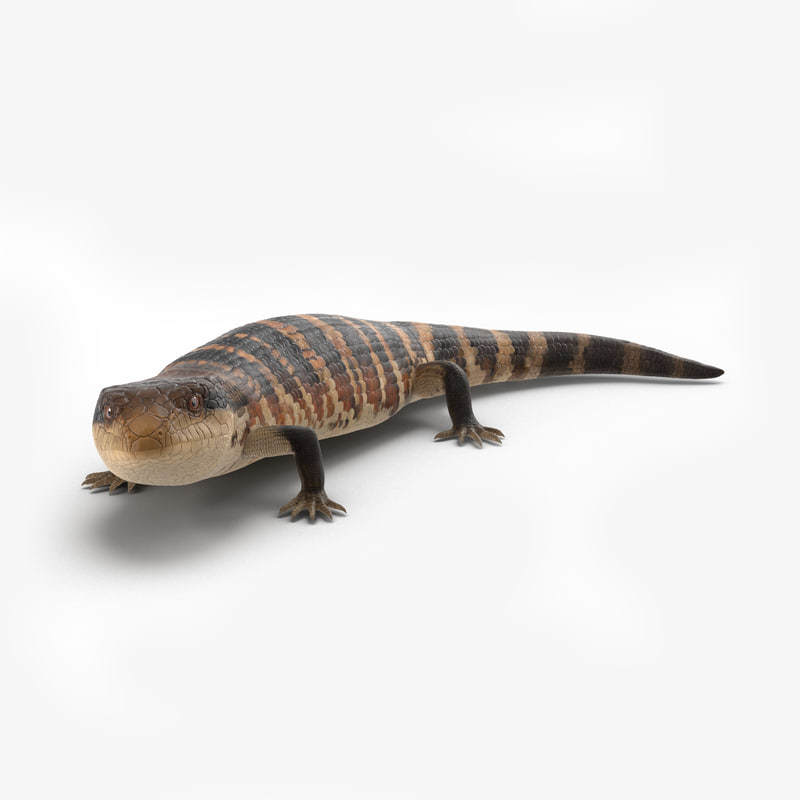 3d blue tongued skink pose model