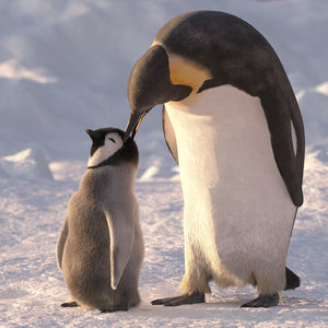 group emperor penguins 3d max