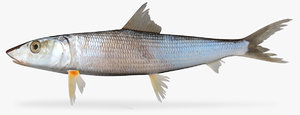 3d cortez bonefish