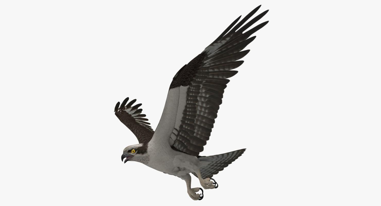 pandion haliaetus osprey animation 3d ma