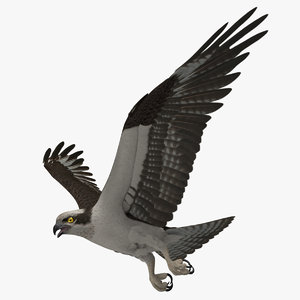 pandion haliaetus osprey animation 3d ma
