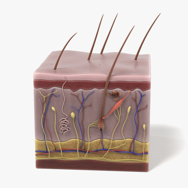 3d model skin anatomy