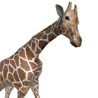 giraffe ready animation max