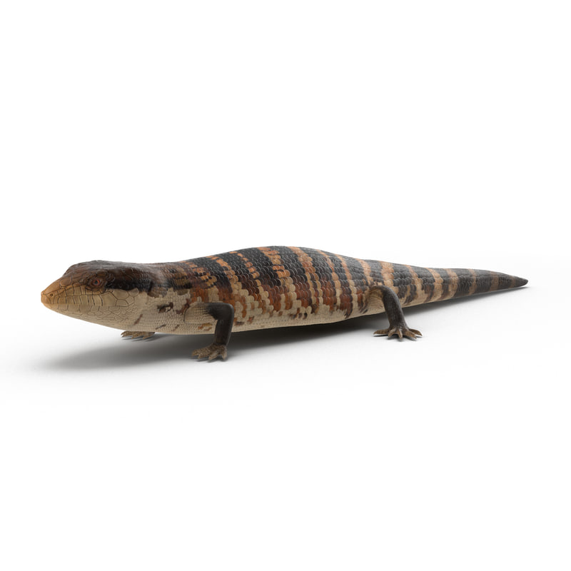 blue tongued skink max