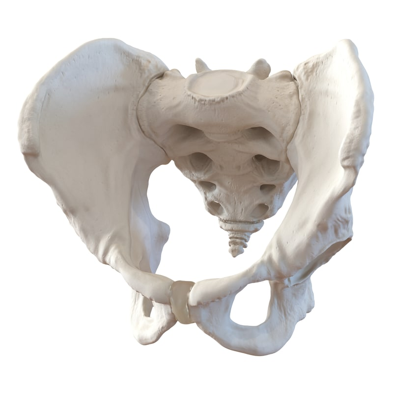 3d model of male pelvis skeleton