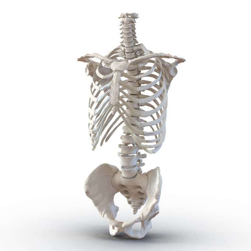 3d model male torso skeleton
