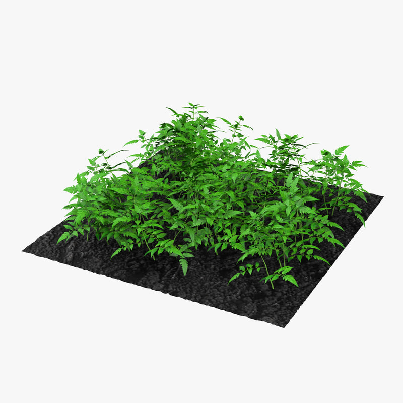 young tomato plants garden 3d model