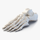 Skeletal Foot 3D models