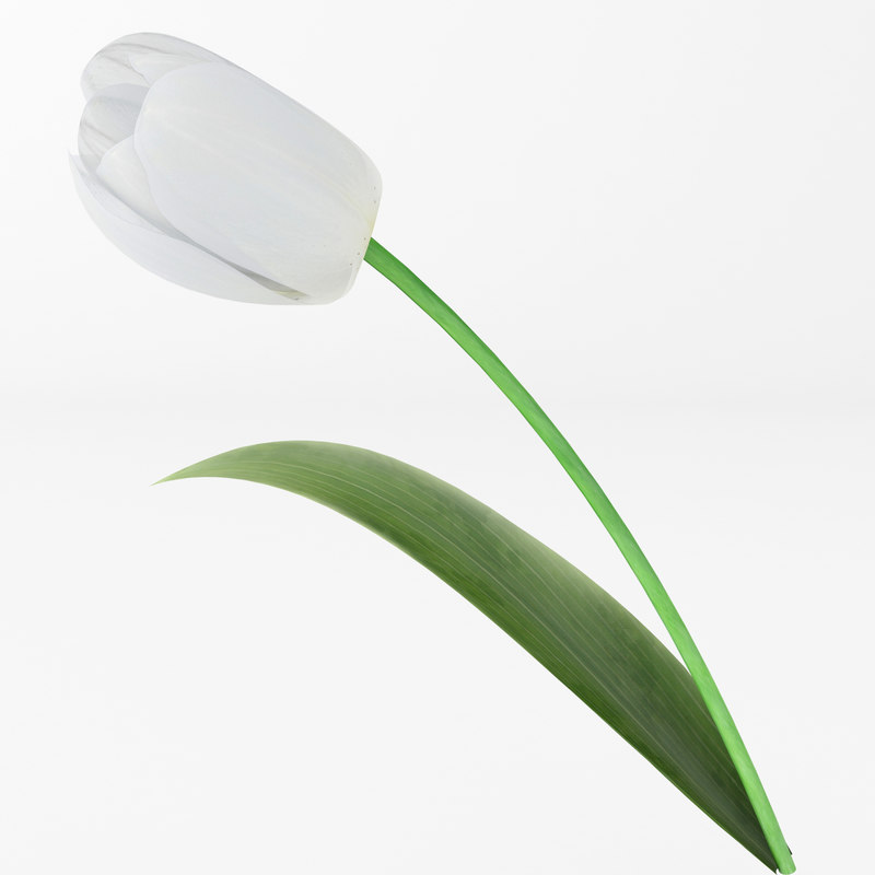 3d model of white tulip
