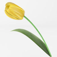 realistic yellow tulip 3d model