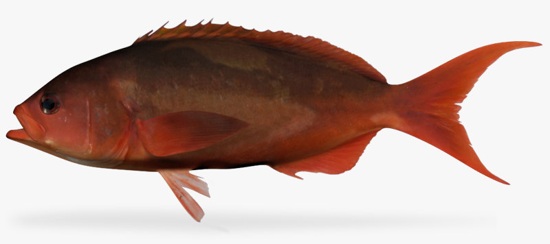 3d pacific creolefish