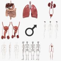 3d model of male organs