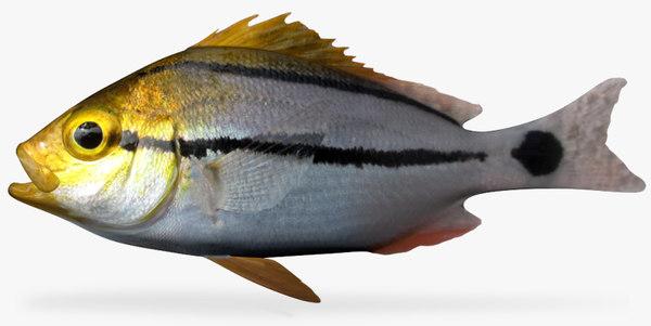 3d porkfish fish