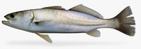 shortfin corvina 3d model