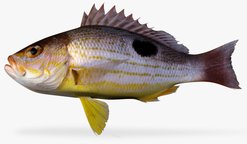 spotted rose snapper 3d ma