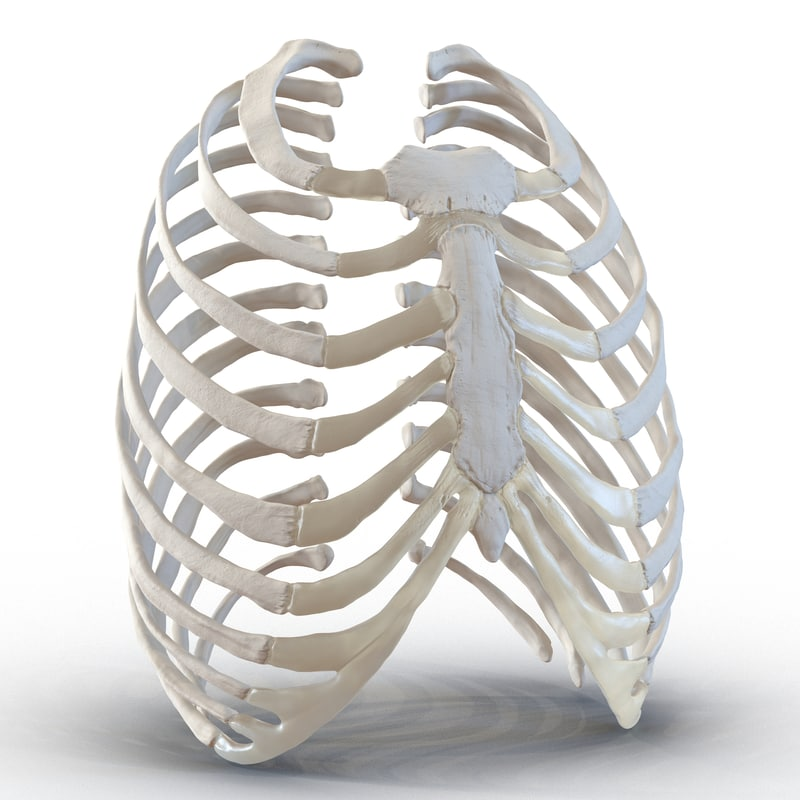 3d female ribcage skeleton