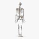 skeletal system 3D models